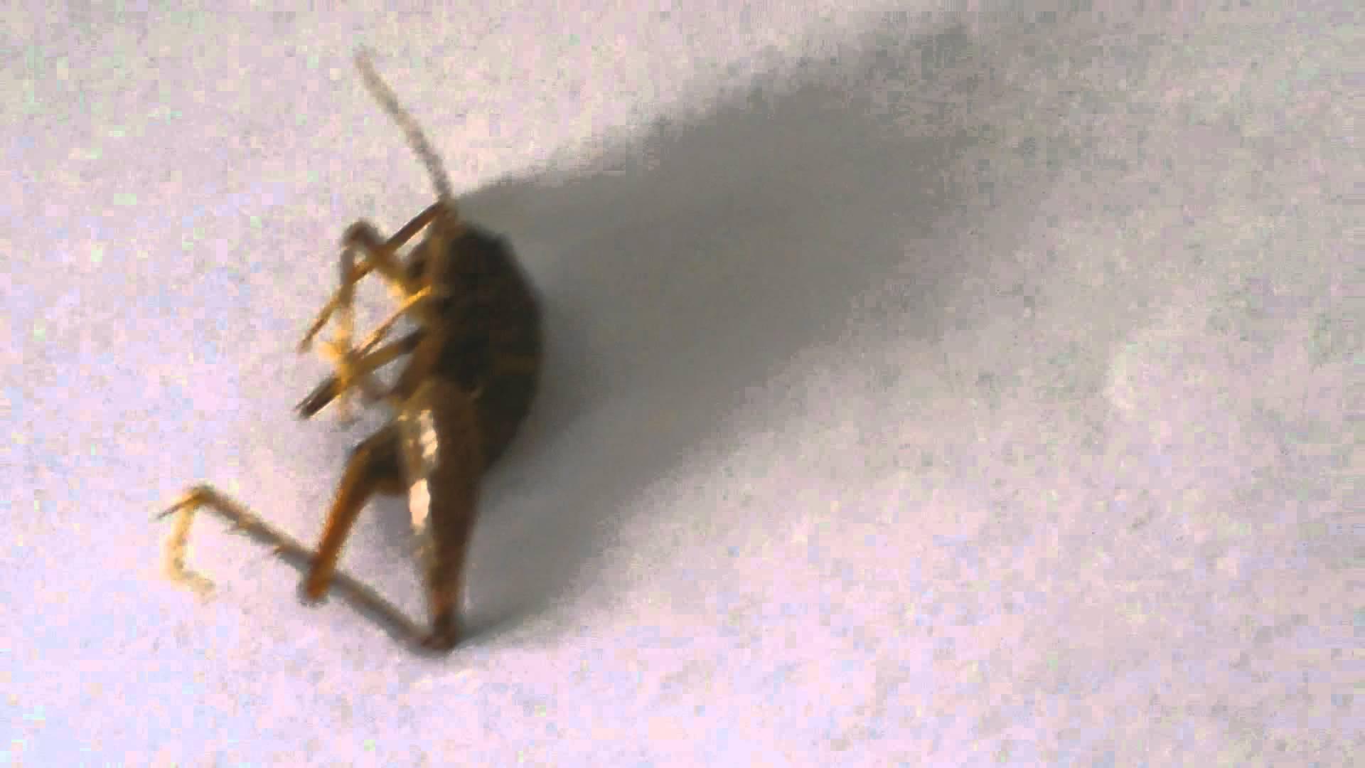 insecte d 39 humidit semblable une sauterelle grillons des cavernes. Black Bedroom Furniture Sets. Home Design Ideas