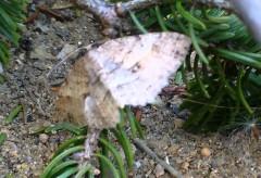 Papillon De Nuit Qui Fait Un Somme