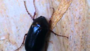 Barbeau insecte Hanneton commun (Barbeau)