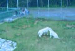 Combat de Tigre Blanc – Duel entre deux Tigres Blancs