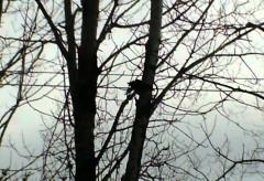 Oiseau De Malheur – Le Corbeau