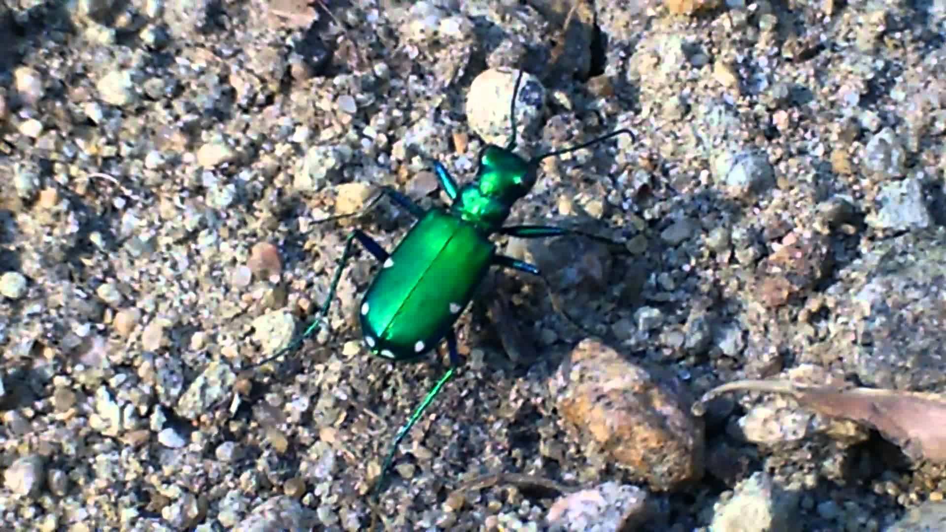 Un col opt re vert fluo du qu bec insectes du qu bec for Espace vert quebec
