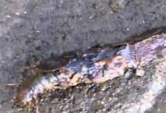 Alien au fond d'une rivière – Québec – Les larves de trichoptère