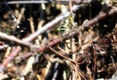 La mouche «erystale» de la famille syrphides